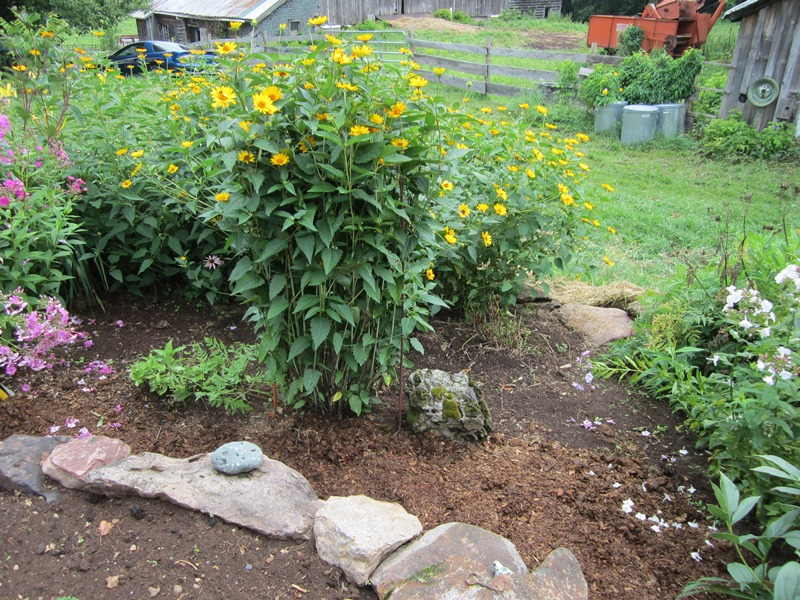 a false sunflower also had to be staked