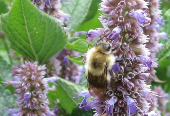 bee on anise hyssop