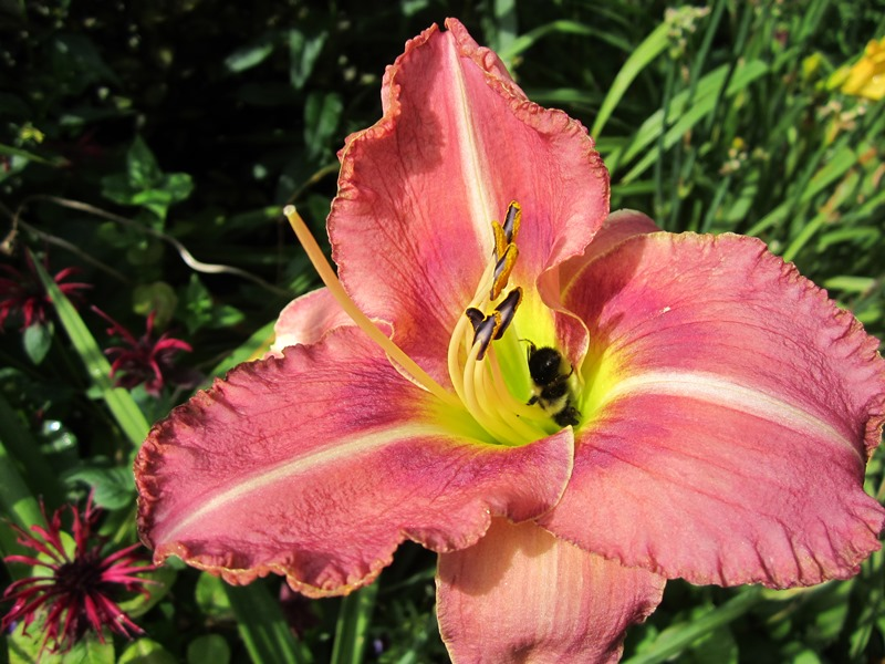 Early on cool mornings I often find the bumblebees just sitting like this head first in a lily blossom--Sleeping? Dreaming?