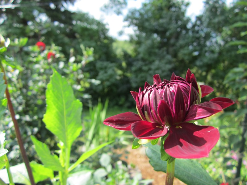 another Swan Island dahlia, dark wine red, just opening.