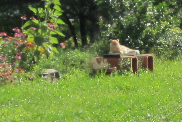 our miniature lion