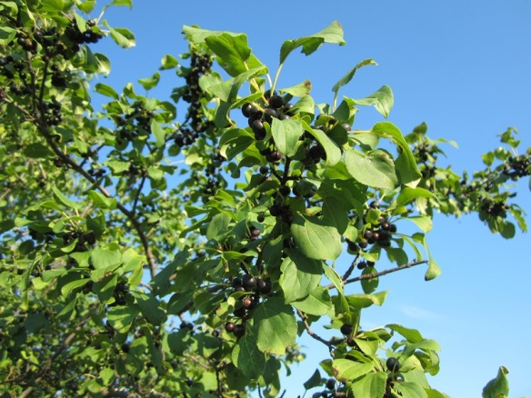 Some kind of black berry on a tree--chokecherry?