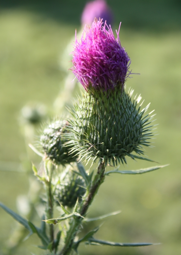 morning sun shines on a thistle in the horse pasture