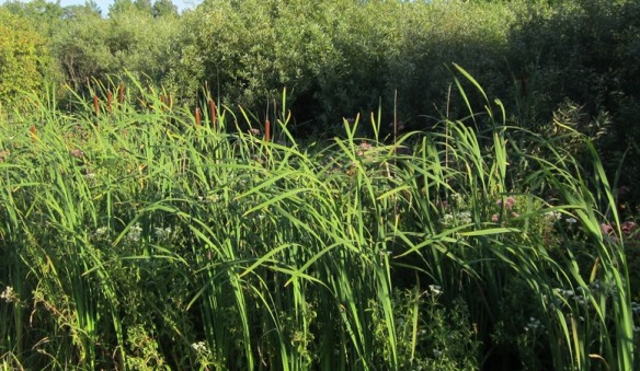 cattails on the roadside