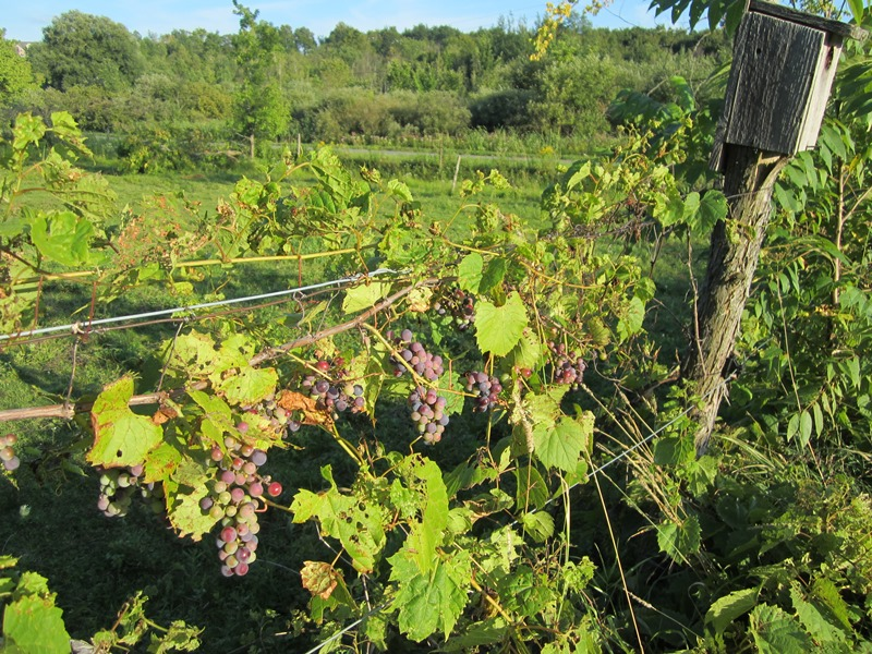 wild grapes on the horse pasture fence