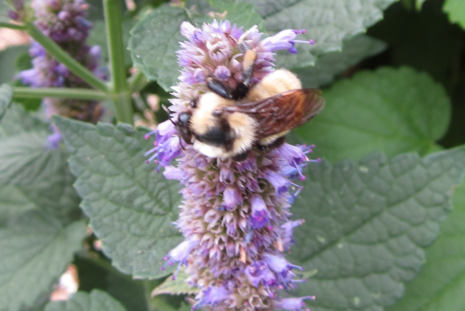 bee anise hyssop