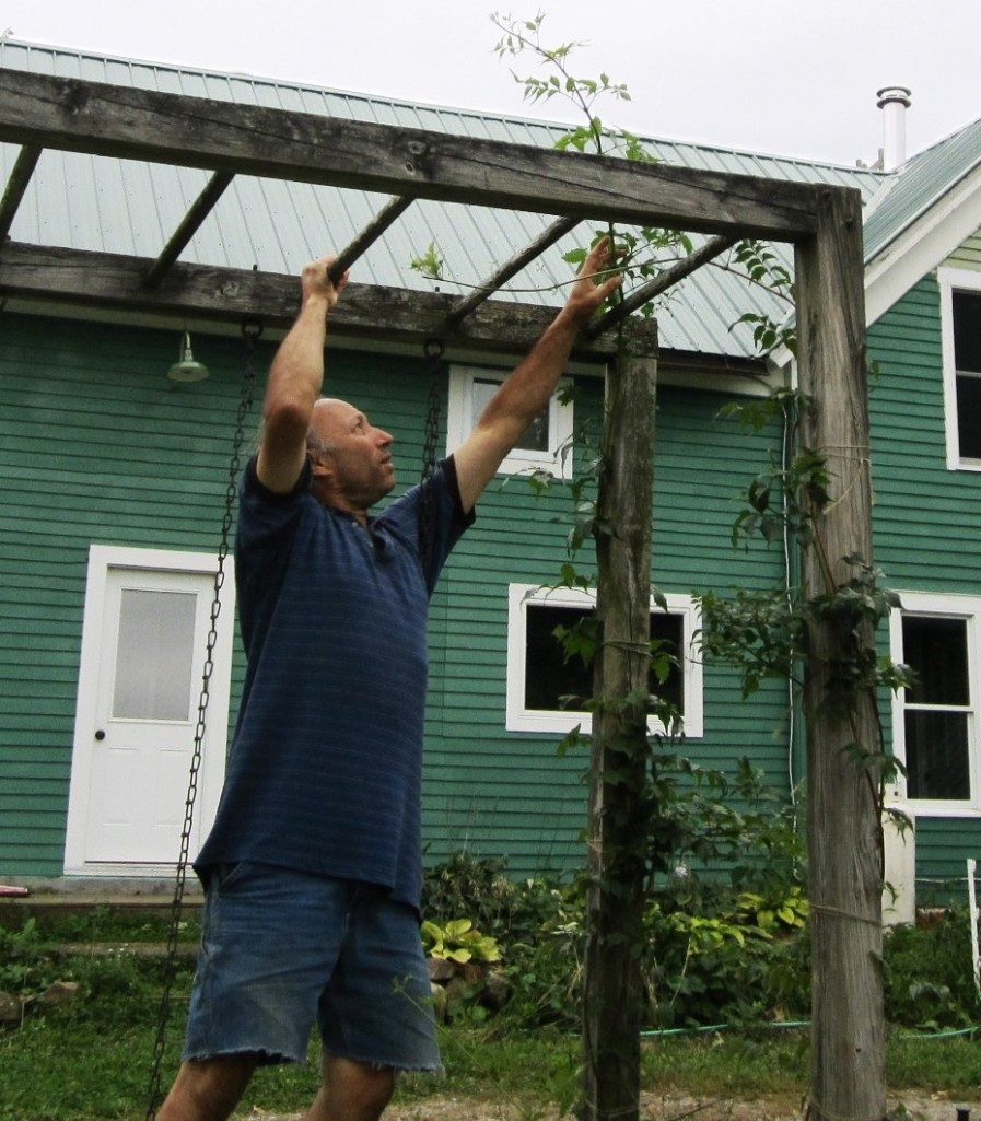 helping the campsis vine get a foothold