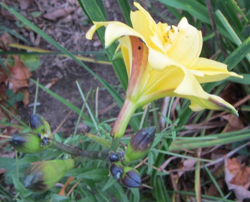 daylily reblooming