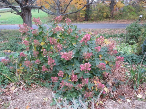 front yard pink diamond hydrangea