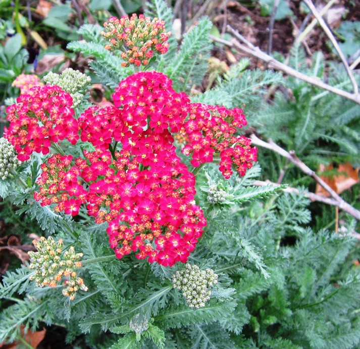 red yarrow reblooming