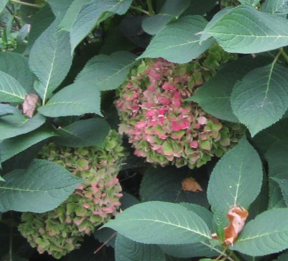 meditation garden endless summer hydrangea