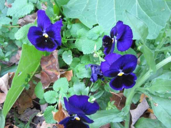 nothing stops a pansy, of course