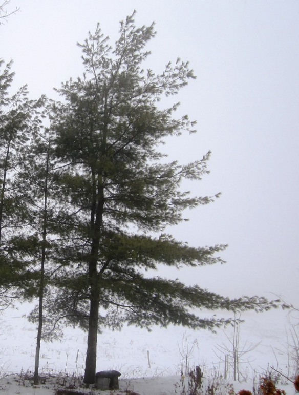 graceful white pine