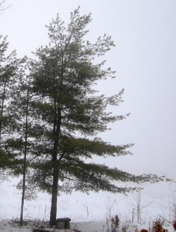 graceful white pine
