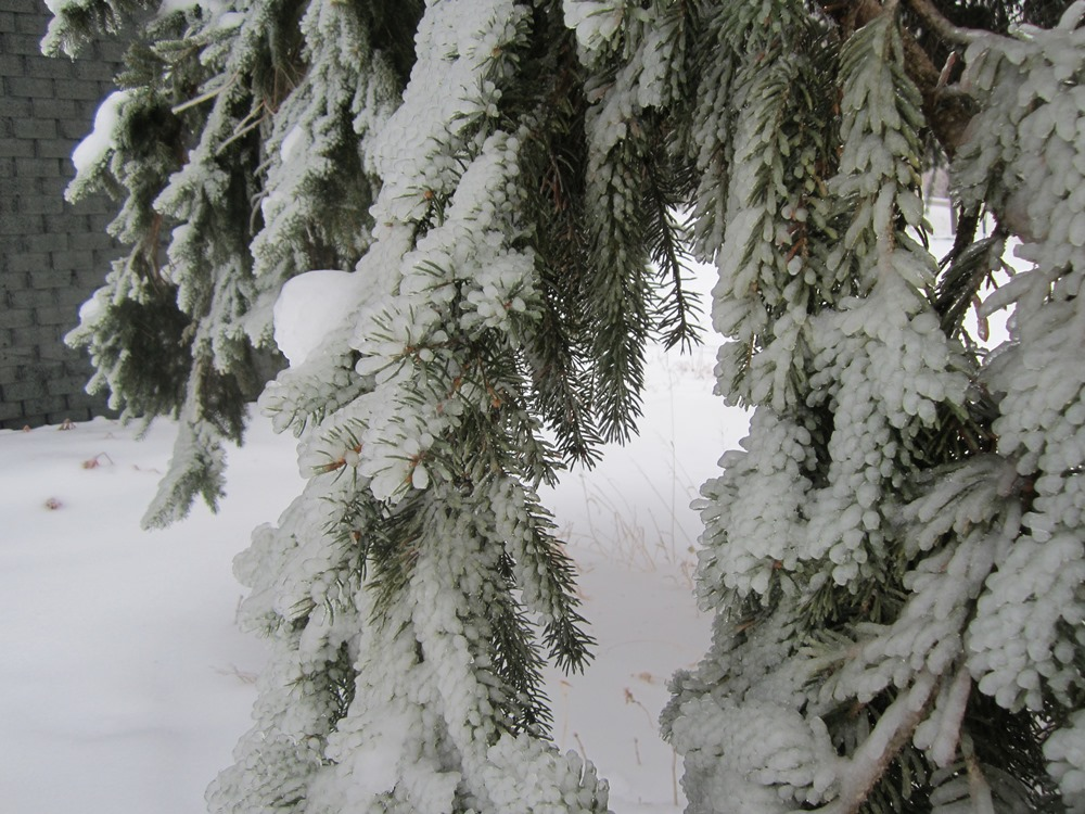 Branches of the Norway Spruce in our back yard