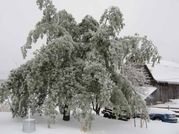 Then the ice came--here is an ice-laden pine tree.