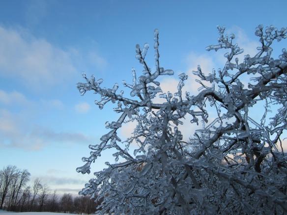 ice on apple tree twigs
