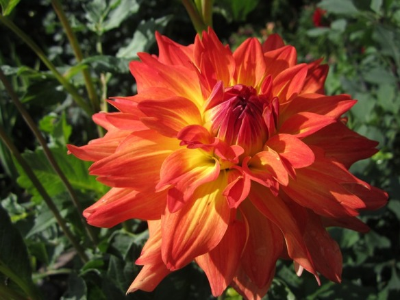 Azteca dahlia