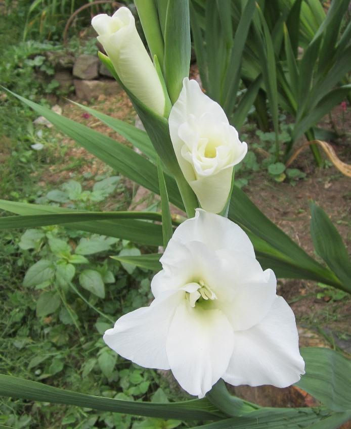 elegant white glad