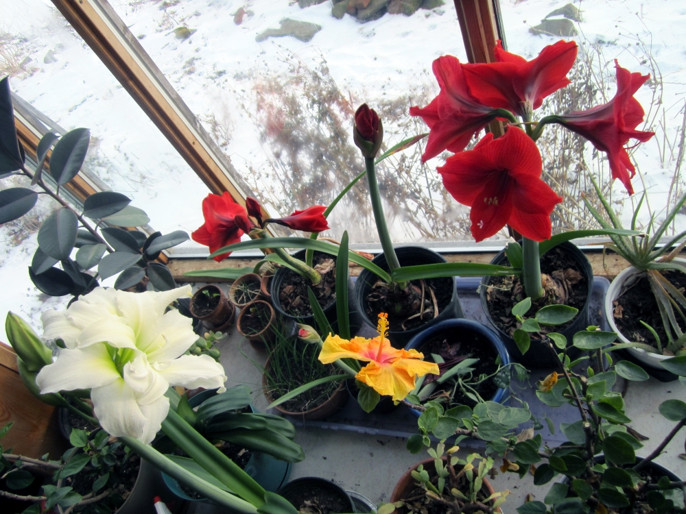 the bay window, with red and white amaryllis and a hibiscus flower