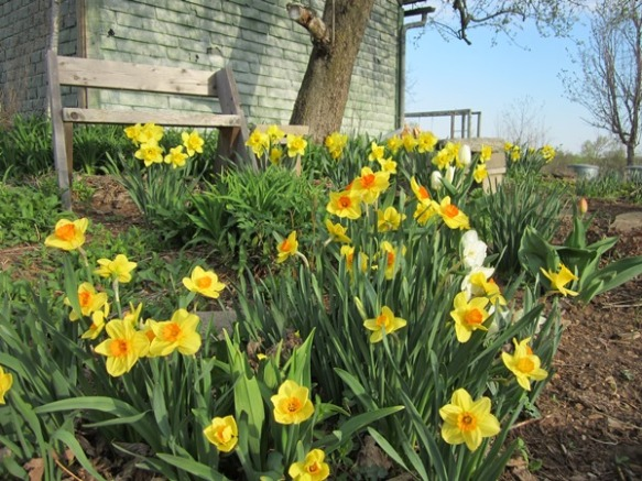 "the May garden party is billed as a ""daffodil-viewing"" party."