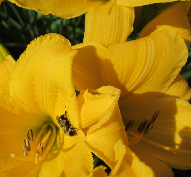 this one has substantial blooms, a dark, saturated yellow color--this one, whose name I do not know, grows incredibly fast--I could have a hundred clumps if I wanted to. Now I have about 8 clumps of this one.