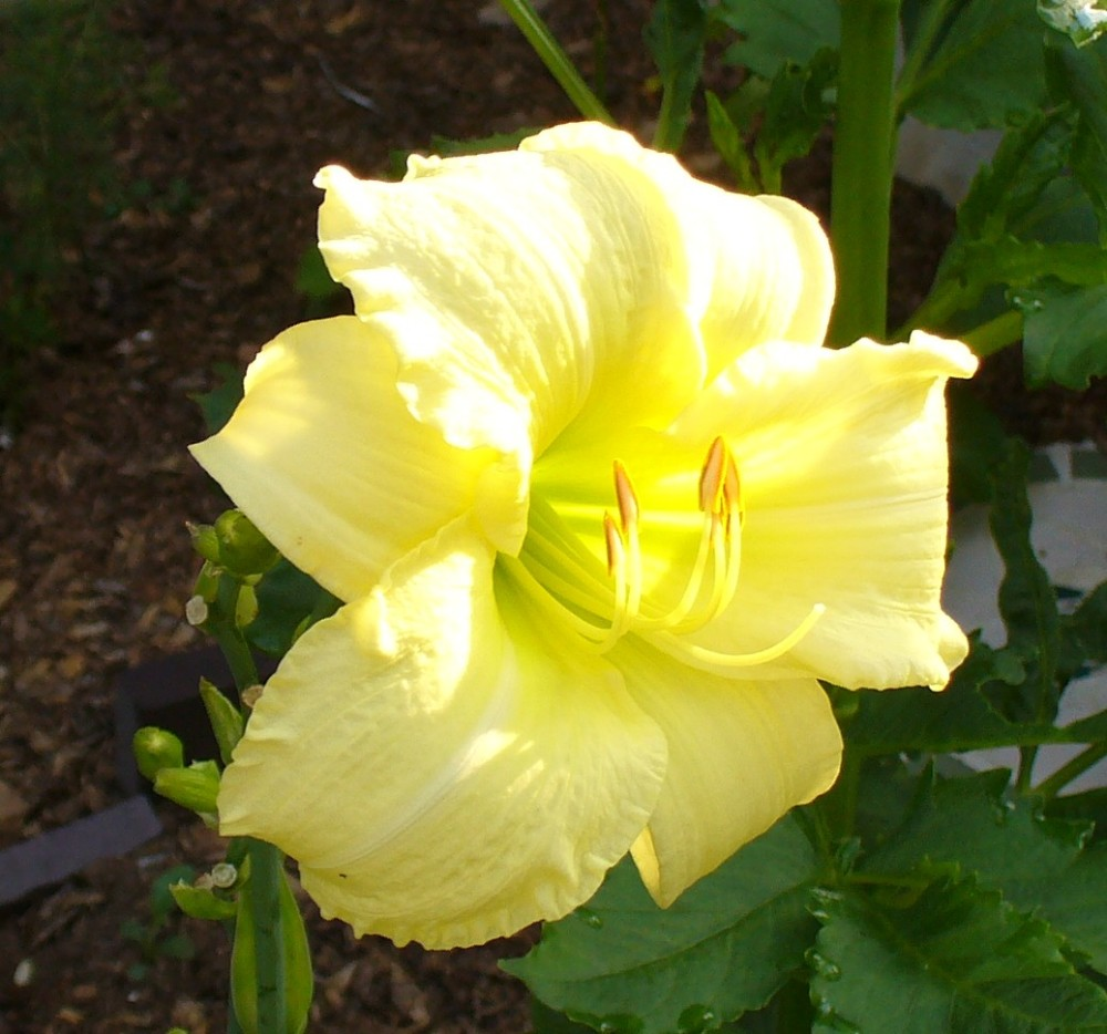 another very pale yellow, with ruffled edges