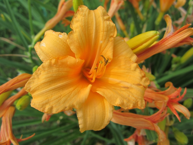 """a small flower--""""Bertie Ferris"""" with great coloring and a ruffled edge. Also a really fast grower!"""