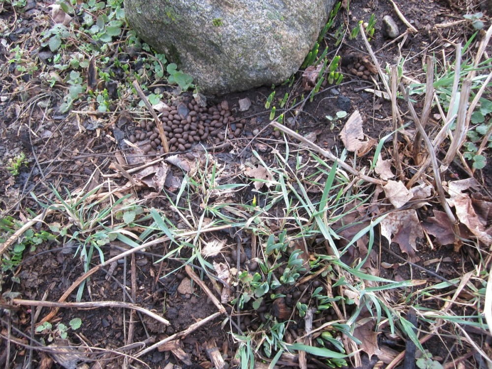 grass, deer droppings, narcissus