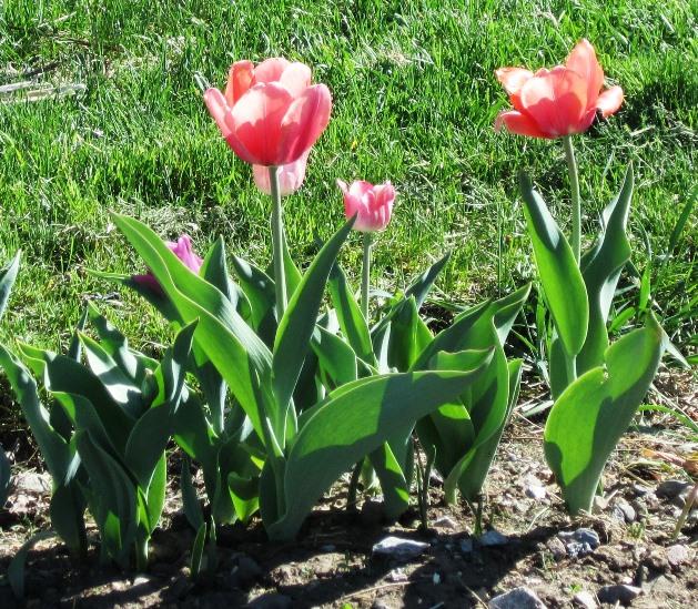 tulips in sun