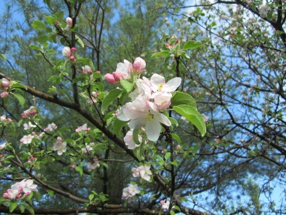 apple trees blooming!