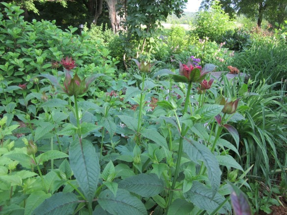 beebalm coloring up and budded