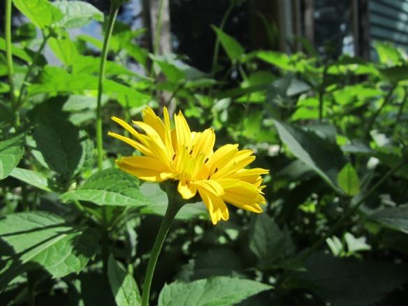 heliopsis false sunflower