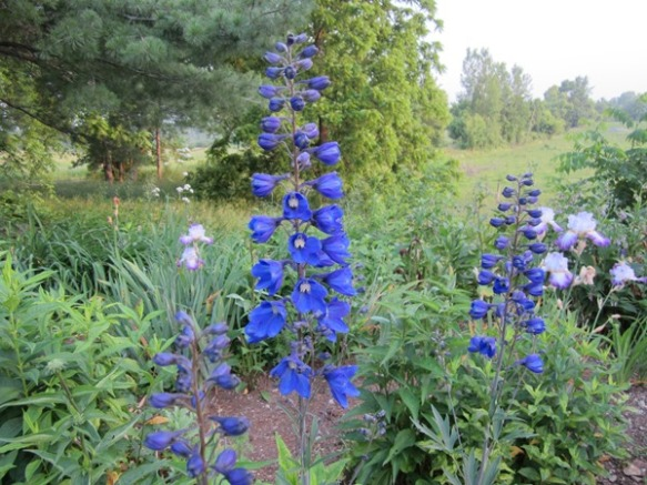 last year dark blue delphinium