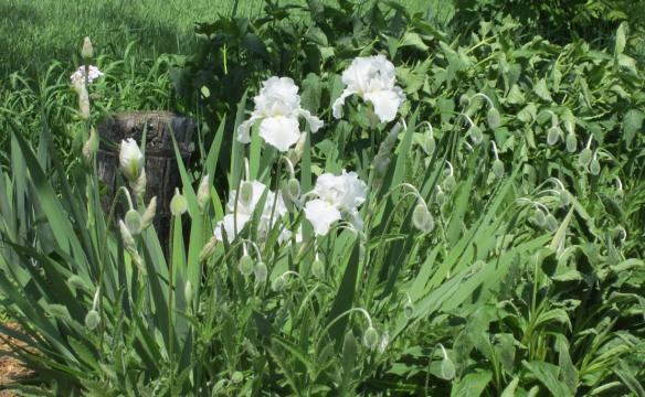 garden summery 024