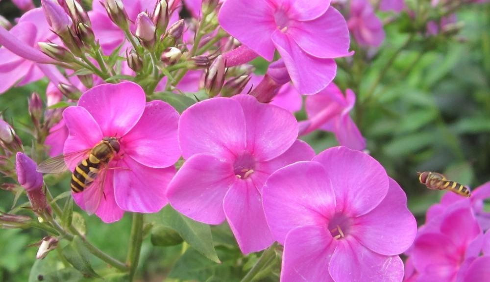 flies disguised as bees