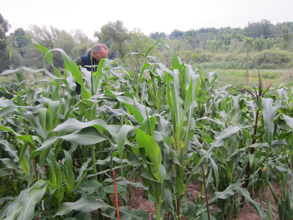 This morning, inspecting the corn and looking for zucchini