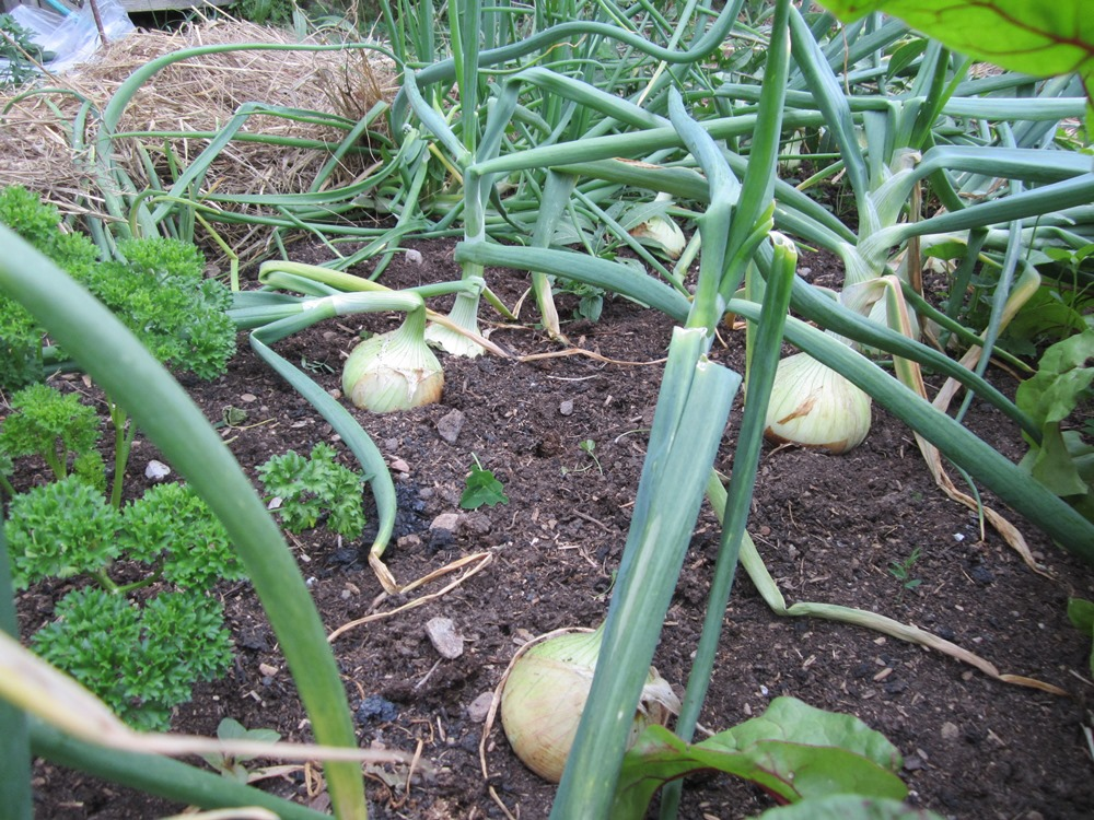onions and parsley