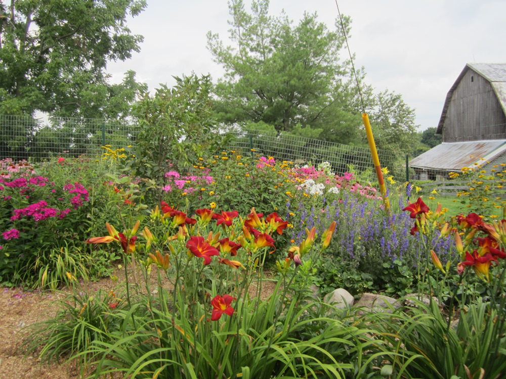 """the bright red daylilies are """"red volunteer"""""""