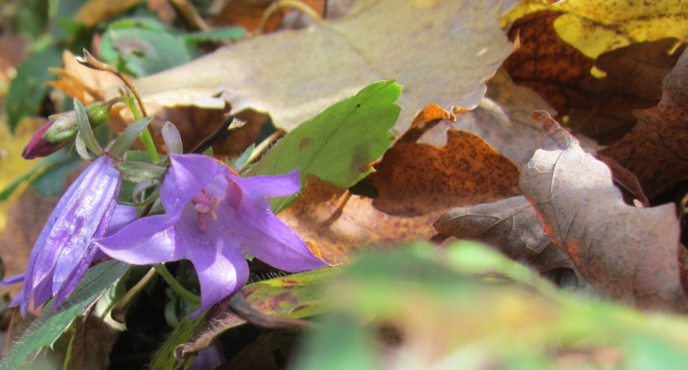 ladybell and fall leaves