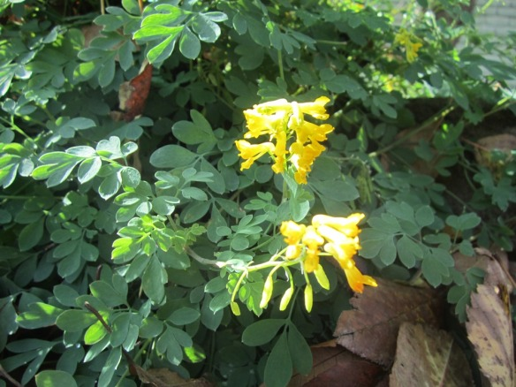 corydalis--it looks so delicate, but it's tough!