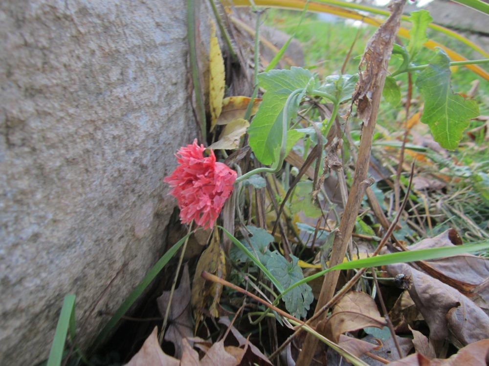 One last rather sad-looking poppy