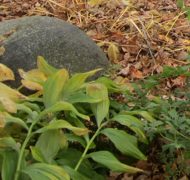 solomon's seal and rock