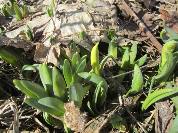 here come the daffodils!