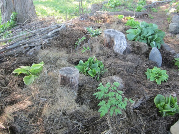 hostas protected by thick layers of hay mulch
