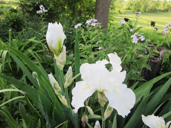 white iris blooming in the sandy garden.