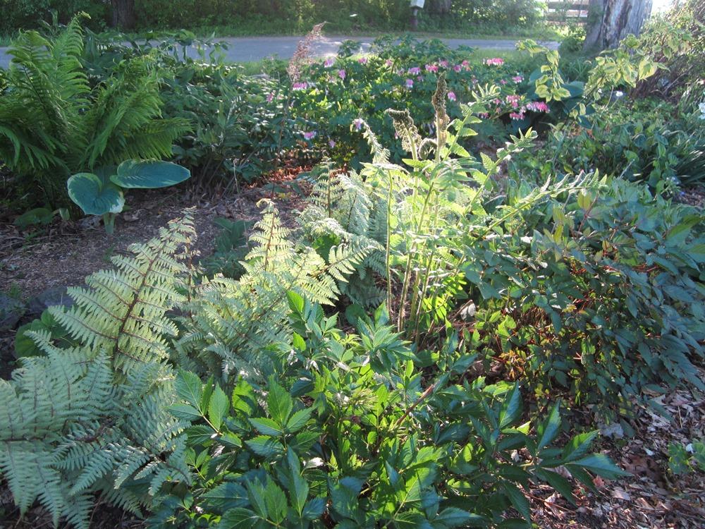 front yard ferns
