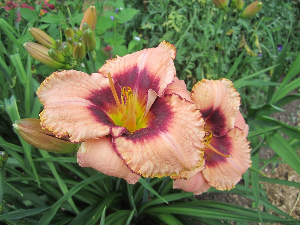 daylily tawny and marroon
