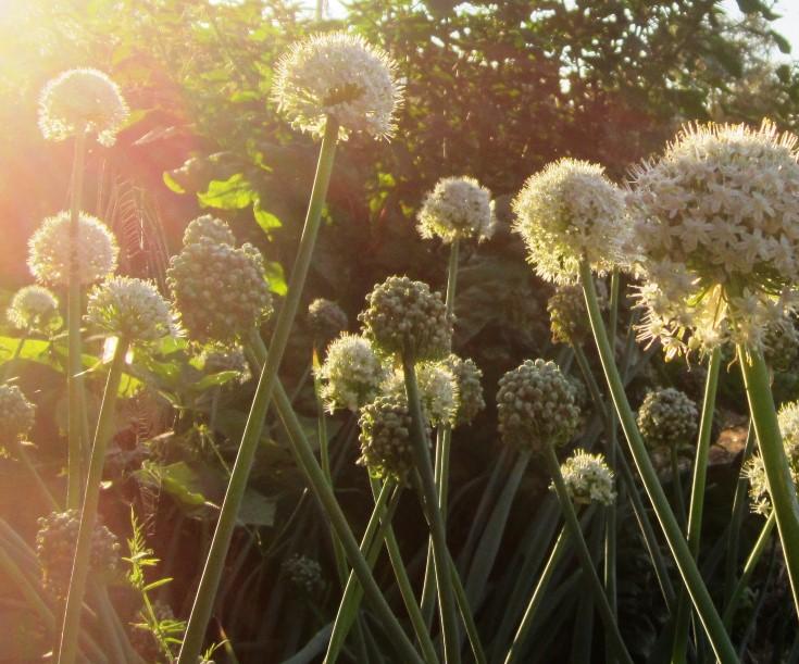 onions in morning sun