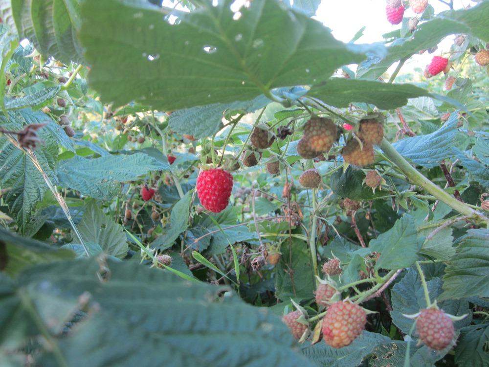 red raspberries, yum!